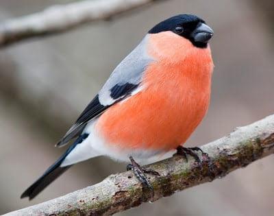 Bullfinch - (Pyrrhula pyrrhula)
